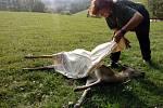 Vlci zahubili deset daňků v Bernarticích