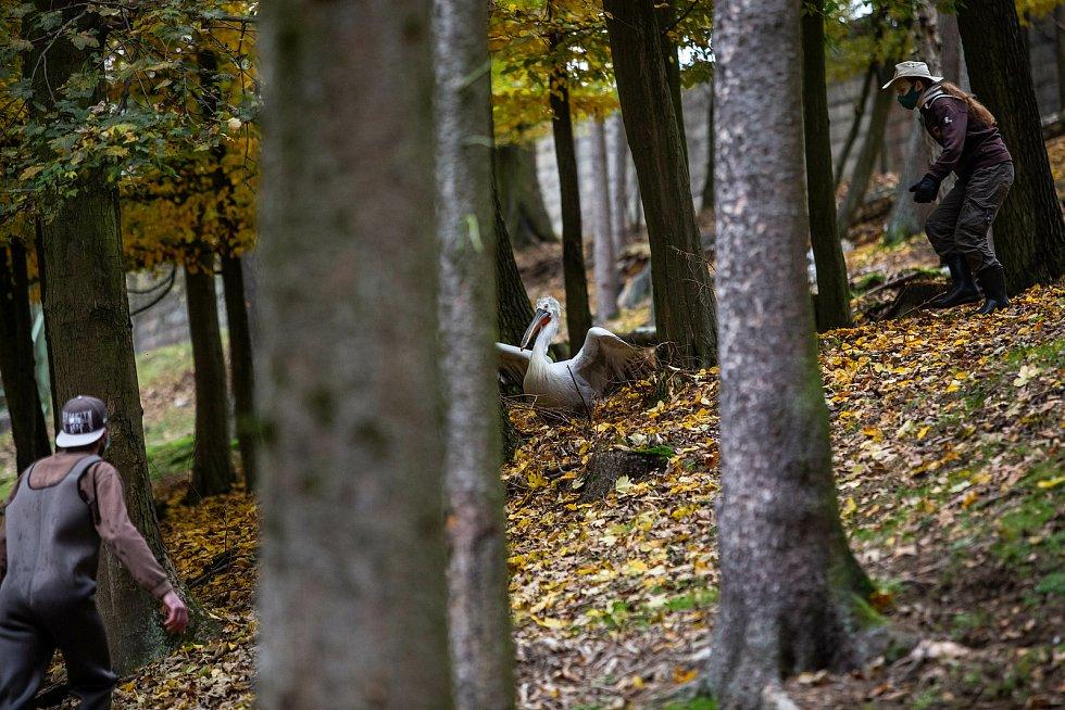 Odchyt pelikánů v Safari Parku Dvůr Králové. Pelikáni se musí přemístit do zimoviště.