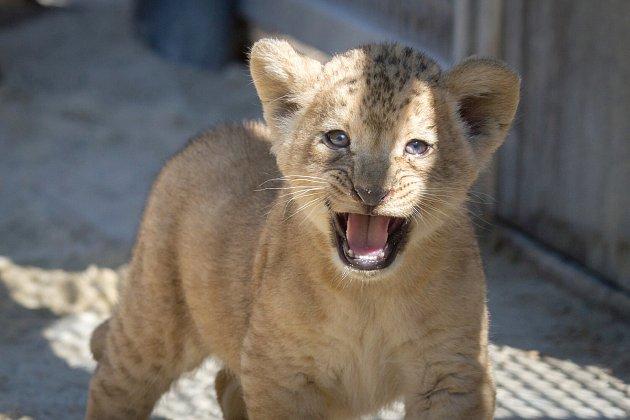Lvice Khalila porodila ve Dvoře Králové dvě koťata lvů berberských. Ta se vsafari parku narodila po třicetileté přestávce.