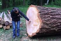 DOUGLASKA TISOLISTÁ Z PRKENNÉHO DOLU měřila 45 metrů a z jejího kmene bylo 16,5 metrů krychlových dřeva. Strom růst začal na počátku minulého století.