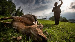 Vlci v Bernarticích zahubili deset daňků