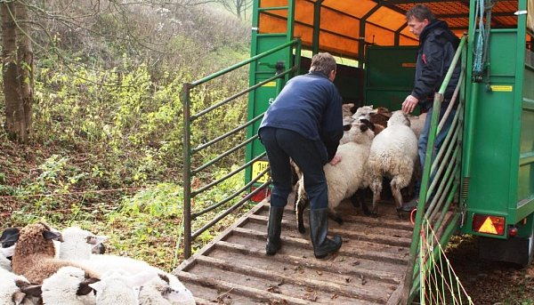Poslední ovce opustily kopec a odstěhovaly se na Bolkov