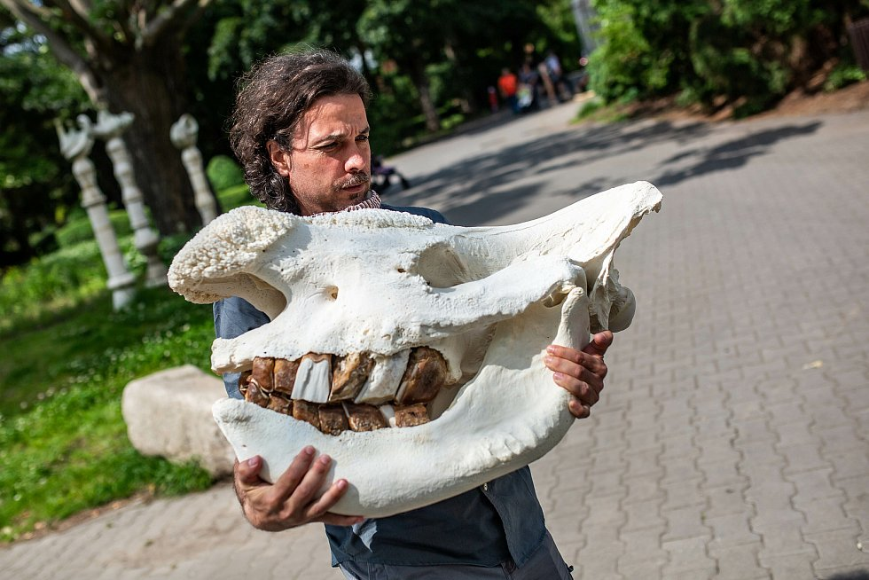 Vzpomínka na Sudána. Safari Park Dvůr Králové bude pracovat s ostatky posledního samce nosorožce bílého severního na světě.