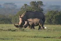 Divocí nosorožci v Ol Pejete