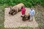 Instalování soch nosorožců na Stezku korunami stromů Krkonoše v Janských Lázních.