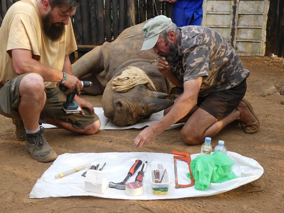 NARKÓZA KVŮLI VYSÍLAČKÁM. Nosorožce museli ošetřovatelé uspat, aby jim mohli do rohů umístit vysílačky. Díky nim budou neustále pod kontrolou.