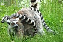 Lemur kata s mláďaty