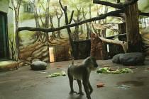UNIKÁTNÍ DRILOVÉ  se zabydlují v královédvorské zoo. Ve volné přírodě jich žije už jen několik tisíc, a to  na poměrně malém území v hraniční oblasti Kamerunu a Nigérie a na ostrově Bioko.