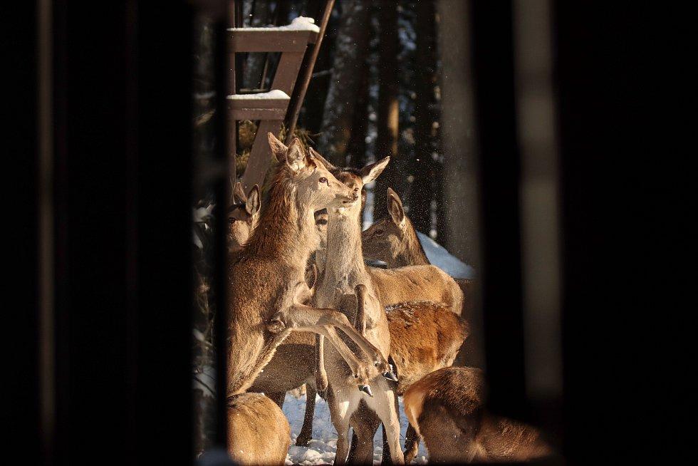Hajní Krkonošského národního parku chodí denně v ranních hodinách přikrmovat vysokou zvěř do přezimovacích obor.