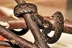 Mládě jedovaté zmije Nitscheiovy, které se narodilo v Safari Parku Dvůr Králové.