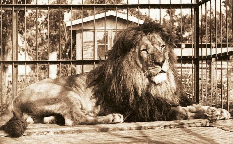Lev Rémus ve vnější kleci Exotického pavilonu.