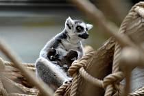 Mláďata lemurů ve dvorském safari parku.