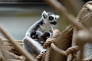 Mláďata lemurů ve dvorském safari parku