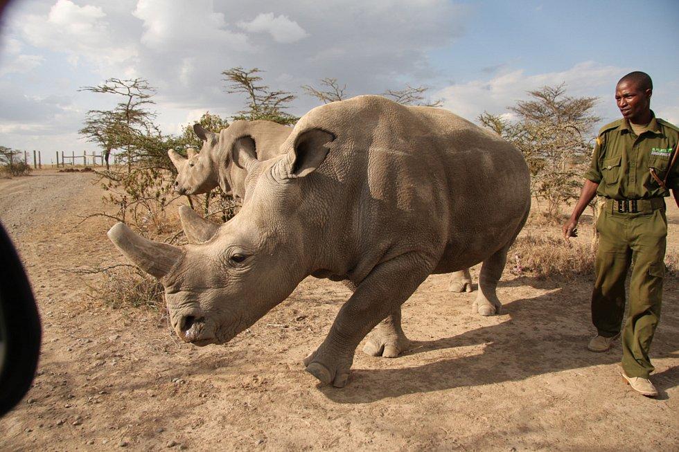 SAMICE NÁJIN A FATU jsou v keňské rezervaci Ol Pejeta pod stálým dohledem ozbrojených složek. Spolu se samcem Súdánem jsou posledními zvířaty svého druhu.