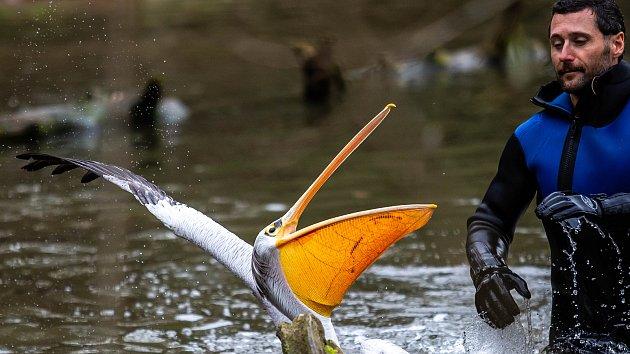 Odchyt pelikánů ve dvorské zoo