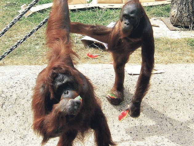 Orangutani Dona a Batu si ve výběhu pochutnávají na melounech.
