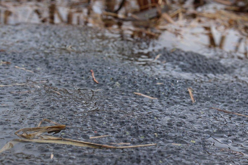 Zamilované žáby se vydávají na tah. Zachraňují je zábrany u silnic.