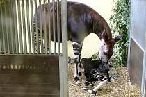 V královédvorské zoo se narodila vzácná pralesní žirafa okapi