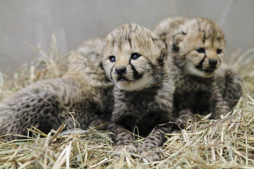 Safari park vítá geparďata. Skupinu rozšířila čtyři mláďata