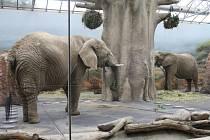 AFRICKOU SAVANU si v královédvorské zoo užívají hned dvě slonice