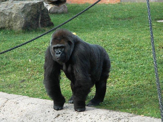 Gorila Messa