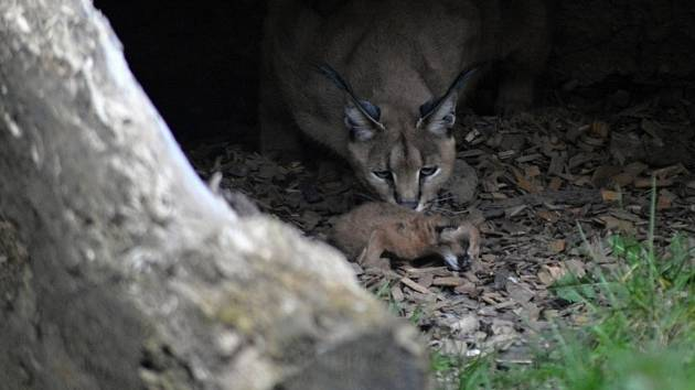 V zoo mají nový přírůstek: koťata karakalů.