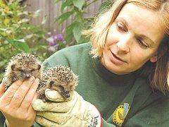 ZÁZEMÍ, které mají během zimy malí ježečci ve Vrchlabí, dává naději, že část z nich období přečká.