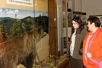 NA VÝSTAVĚ o šelmách ve Vrchlabí je k vidění i vycpaný medvěd, pocházející z Krkonoš.