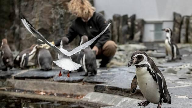 Tučňáci v pražské zoo.