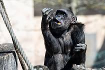 Šimpanz v Safari Parku Dvůr Králové nad Labem.