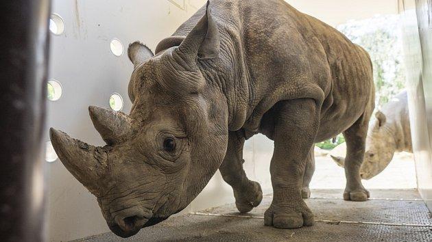 Nosorožci vyrazili od Afriky. Přesun k letišti proběhl hladce
