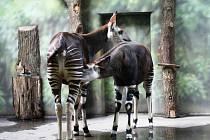 SAMICE ETANY byla dosud v zoo se svým mládětem, samičkou Ebony.
