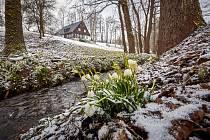 Bledule v Rudníku v Javorníku v pátek 19. března v poslední zimní den.