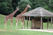ŽIRAFÍ SAMCI Mick a Bazyl v královédvorské zoologické zahradě nově obývají safari Serengeti. Lidé se okolo nich mohou projíždět i ve vlastních automobilech.