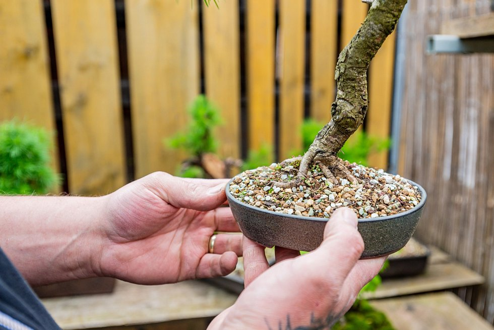 Pro Lukáše Prauseho z Dvora Králového jsou bonsaje opravdovou vášní.