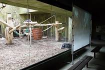 Jedinečný projekt má lidoopům zpestřit dny, kdy kvůli nucené uzávěře nemohou pozorovat návštěvníky. Přenos poběží až do konce března.