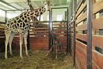 Narození 250. žirafy v zoo Dvůr Králové jesvětovým rekordem