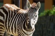 Mládě vzácné zebry bezhřívé.
