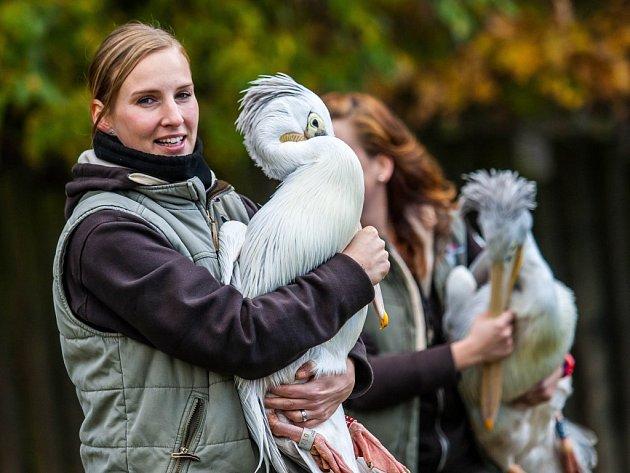 Stěhování pelikánů v královédvorské zoo