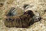 V cirkusu se narodila mláďata tygra sibiřškého