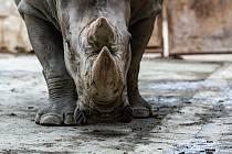 Safari Park Dvůr Králové získal z Německa na posílení chovu nosorožců bílých jižních osmadvacetiletého samce jménem Kusini.
