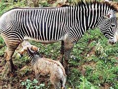 Zebra porodila mládě před návštěvníky zoo