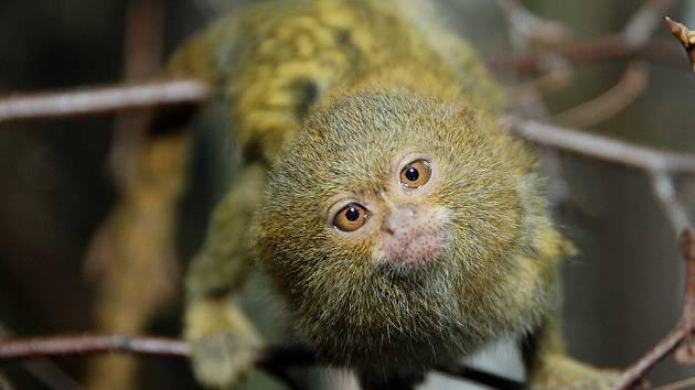 Kosmani zakrslí z královédvorské zoo mají mláďata