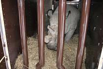 Transport nosorožců ze Dvora Králové do keňské rezervace Ol Pejeta
