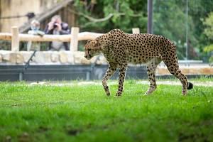 Safari Park Dvůr Králové loni zaznamenal rekordní návštěvnost za posledních deset let a obhájil pozici nejvyhledávanějšího turistického cíle kraje. Novinkou sezony jsou otevřené výběhy gepardů, ve kterých můžou lidé pozorovat bratry Thomase a Toulouse.