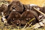 V Safari Parku Dvůr Králové se narodila jedenácterčata do smečky psů hyenových.