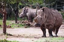 SAMICE NÁJIN z královédvorské zoo v keňské rezervaci Ol Pejeta zatím nezabřezla.