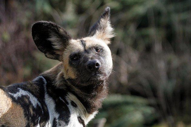 Chov psů hyenových je velmi složitý. Safari Park Dvůr Králové je vněm nejúspěšnější na světě.