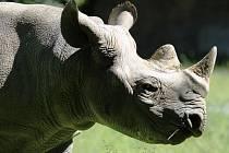 Samice nosorožce Eliška