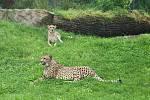 Gepardi se nejprve z povzdálí sledovali